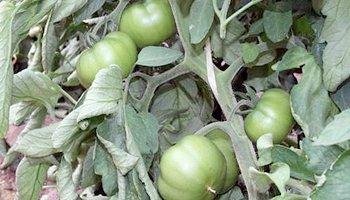 mata de tomates